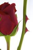 Rose roja con la espina Fotos de archivo libres de regalías