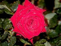 Rose roja con las gotas de agua Imagen de archivo