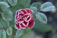 Rose roja con los cristales de hielo Fotografía de archivo libre de regalías