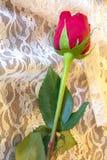 Rose roja con verde se va en cordón blanco delicado Imágenes de archivo libres de regalías