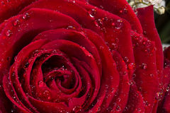 Rose roja - día de tarjetas del día de San Valentín Fotografía de archivo libre de regalías