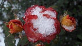 Rose roja debajo del hoar-fros Flor congelada Último otoño de la flor congelada rosada hermosa foto de archivo