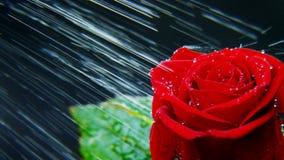 Rose roja en fuertes lluvias Foto de archivo libre de regalías