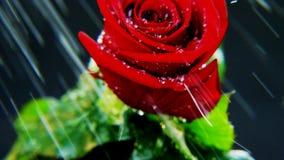 Rose roja en fuertes lluvias Imagenes de archivo