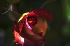 Rose roja en la luz del sol Imagen de archivo