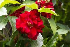 Rose roja en la rama verde en el jardín Fondo de Rose Foto de archivo