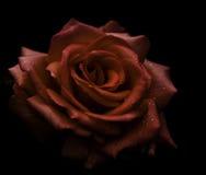 Rose roja en negro Imagen de archivo libre de regalías