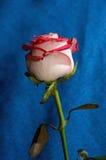 Rose roja en un tronco Imágenes de archivo libres de regalías