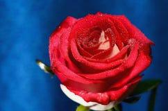 Rose roja en un tronco Fotografía de archivo