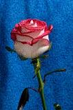 Rose roja en un tronco Fotografía de archivo libre de regalías