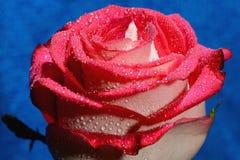 Rose roja en un tronco Imagen de archivo libre de regalías
