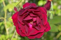 Rose roja grande, sola Foto de archivo