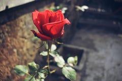 Rose roja hermosa foto de archivo