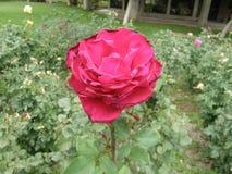 Rose roja hermosa imágenes de archivo libres de regalías