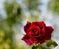 Rose roja hermosa Imagenes de archivo