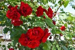 Rose roja hermosa Fotos de archivo libres de regalías