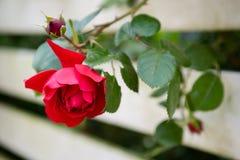Rose roja, hojas verdes Brote de flor imagen de archivo libre de regalías