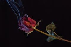 Rose roja que fuma Fotografía de archivo libre de regalías
