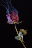 Rose roja que fuma Imagen de archivo