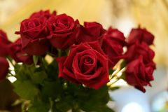 Rose roja y Rose roja fotos de archivo