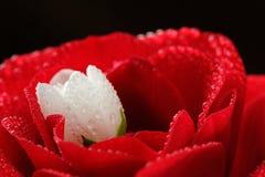 Rose roja y Jasmine Flower blanco con el primer de los descensos de rocío fotos de archivo libres de regalías