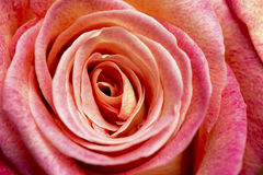 Rose for romance. Close-up image of single rose showing layers of petals and details Stock Photography