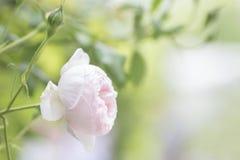 Rose romantiche di rosa del fondo della natura Fotografia Stock Libera da Diritti