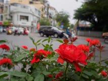 Rose romantiche rosse che crescono accanto alla strada Fotografia Stock