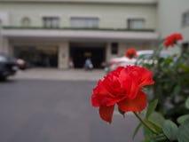 Rose romantiche rosse che crescono accanto alla strada Fotografia Stock Libera da Diritti