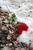 Rose romantique Photo stock