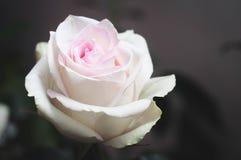 Rose romantique très belle avec les pétales de corail dans le coin gauche de la photo avec un traitement de calme de teinter en t photo stock