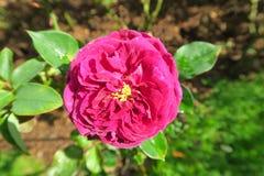 Rose ronde gentille de rose s'élevant en Thaïlande Photo libre de droits