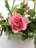 Rose. In a room stock photos