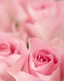 Rose rosa. Fotografia Stock
