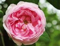 Rose rosa immagine stock