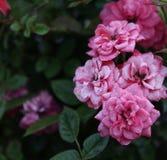 Rose rosa. Immagine Stock
