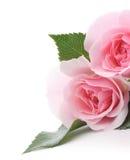 Rose rosa fotografie stock libere da diritti