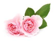 Rose rosa Fotografia Stock Libera da Diritti