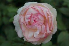 Rose - Rosa stockfotografie