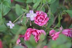 Rose rosa 2 immagine stock libera da diritti