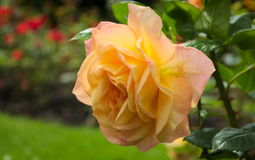 Rose (Rosa Amber Queen) Royalty Free Stock Photos