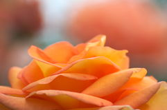 Rose (Rosa Amber Queen) Stock Images