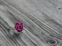 Rose rosa asciutte Immagine Stock Libera da Diritti