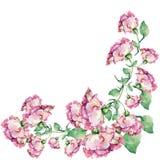 Rose rosa d'angolo dell'acquerello Reticolo floreale Fotografia Stock