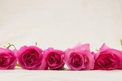 Rose rosa dalla vista laterale Fotografie Stock