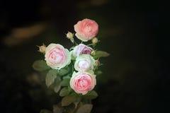 Rose rosa del fondo Immagine Stock