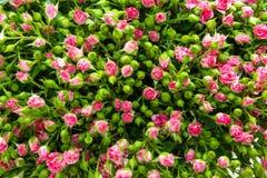 Rose rosa dello spruzzo Fotografie Stock