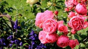 Rose rosa di fioritura e sboccianti variopinte Fotografia Stock