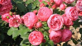Rose rosa dolci e sboccianti Fotografie Stock
