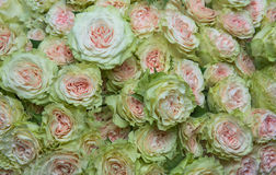 Rose rosa e bianche Fotografia Stock